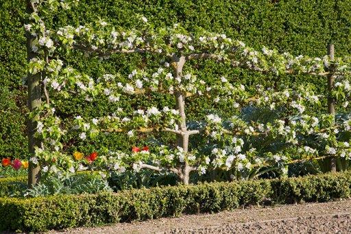 Afbeeldingsresultaat voor fruitbomen leivorm