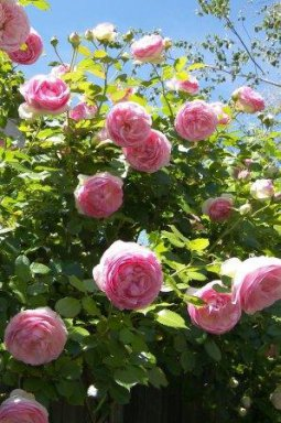 rosa mini eden rose c5 palmhunters. Black Bedroom Furniture Sets. Home Design Ideas