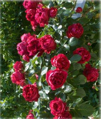 rosa eric tabarlie red eden rose c5 palmhunters. Black Bedroom Furniture Sets. Home Design Ideas