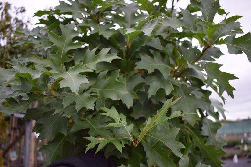 quercus palustris green dwarf 10 12 ho c70 boleik moeraseik palmhunters. Black Bedroom Furniture Sets. Home Design Ideas