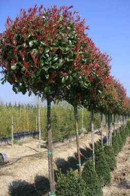 photinia fraseri red robin 6 8 ho c18 glansmispel palmhunters. Black Bedroom Furniture Sets. Home Design Ideas