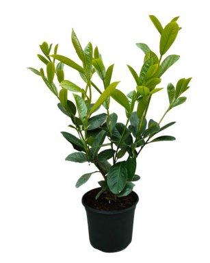 prunus laurocerasus rotundifolia laurierkers paplaurier 175 200 mot palmhunters. Black Bedroom Furniture Sets. Home Design Ideas