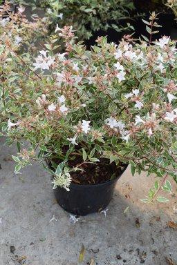 Abelia Grandiflora Confetti Conti Scorpion Senna 50 60 C10