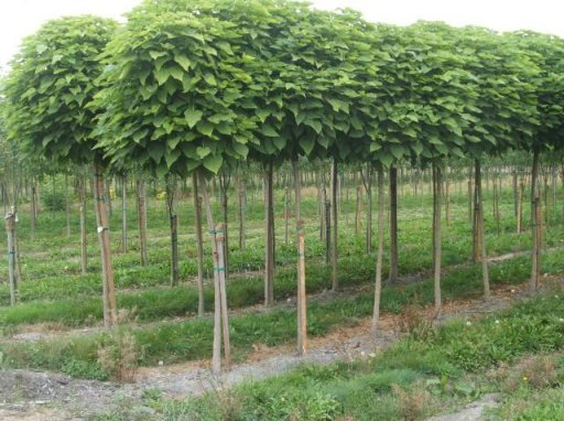 catalpa bignonioides nana 8 10 ho trompetboom bolcatalpa palmhunters. Black Bedroom Furniture Sets. Home Design Ideas