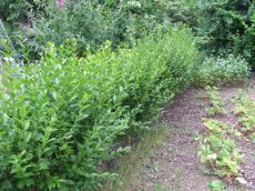 • Hedge plants-woodland plants