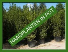 • Haagplanten in pot
