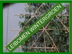 Super leiboom/schermboom en dakbomen & wintergroen - Palmhunters CP-85