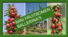 • MINI FRUITBOMEN-BALLERINA-PATIO IN POT
