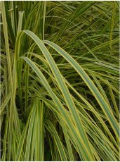 • Ornamental grasses