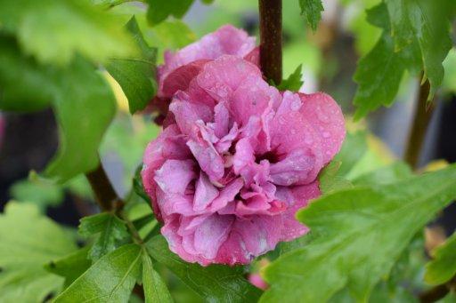 hibiscus syriacus duc de brabant rood altheastruik 40. Black Bedroom Furniture Sets. Home Design Ideas