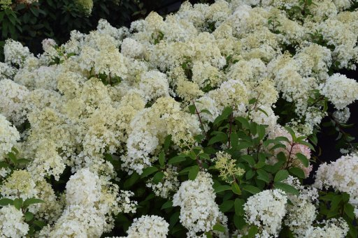hydrangea paniculata bobo palmhunters. Black Bedroom Furniture Sets. Home Design Ideas