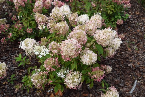 hydrangea paniculata phantom wit hortensia 40 50 c palmhunters. Black Bedroom Furniture Sets. Home Design Ideas