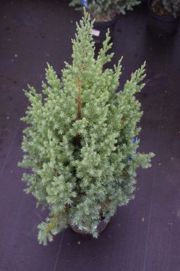 juniperus communis hibernica jeneverbes 50 60 c. Black Bedroom Furniture Sets. Home Design Ideas