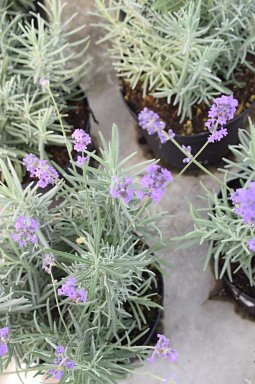lavandula angustifolia dwarf blue lavendel p9. Black Bedroom Furniture Sets. Home Design Ideas