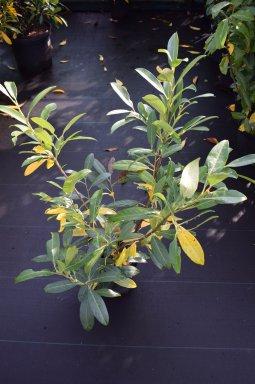 prunus laurocerasus herbergii laurierkers 40 60 c palmhunters. Black Bedroom Furniture Sets. Home Design Ideas