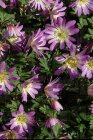 Anemone blanda 'Charmer' | Oosterse Anemoon 10 P9