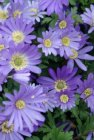 Anemone blanda 'Blue Shades' | Oosterse Anemoon 10 P9