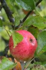 Malus domestica 'James Grieve'  | Appel C7