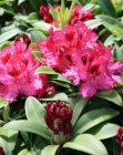 RHODODENDRON 'MARIE FORTE' 40-50 C