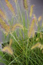 A001 24 st. P9 Pennisetum alopecuroides | Lampepoetser  PROMO 24 st.