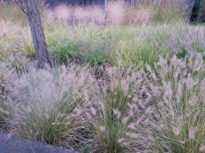 A002 24 st. Pennisetum alopecuroides  'Hameln' | Lampepoetser PROMO 24 st.