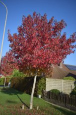 Acer freemanii 'Autumn Blaze' (Jeffersred) 12/14 HO C55 ESDOORN