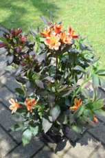Alstroemeria 'Indian Summer'(=Tesronto'PBR) | Incalelie 70-100 C5