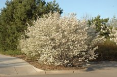 Amelanchier canadensis 40-60  BW 250 st. PROMO | CANADEES KRENTENBOOMPJE