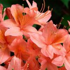 AZALEA JAPONICA 'Gheisha Orange' AZALEA JAPONICA 'Gheisha Orange'   25-30 C