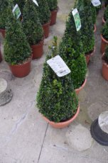 Buxus sempervirens (pyramide) - 50-60  C  Palm