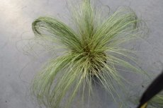Carex comans 'Frosted Curls' | Zegge 30 P9 (WINTERGROEN)