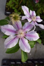 Clematis 'Nelly Moser' | Bosrank 50-60 C2
