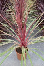 Cordyline australis™  Can Can | Koolpalm 60-80 C12