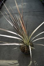 Cordyline banksii 'Electric Flash' | Koolpalm 40-50 C4