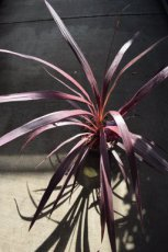 Cordyline banksii 'Electric Pink' | Koolpalm 40-50 C4