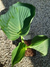Hosta 'Empress Wu' | Hartlelie 140 C2