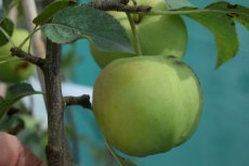 Malus domestica 'Golden Delicious'  | Appel C7