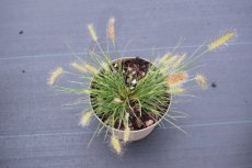 Pennisetum alopecuroides  'Little Honey' | Lampepoetser  25 C3