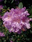RHODODENDRON 'ALFRED' 40-50 C