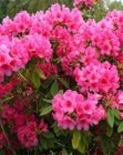 RHODODENDRON 'ANNA ROSE WHITNEY' 40-50 C