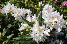 RHODODENDRON 'CUNNINGHAM'S WHITE' 40-50 C
