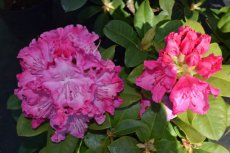 RHODODENDRON 'GERMANIA' 40-50 C