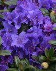 RHODODENDRON 'GRISTEDE' 25-30 C