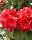 RHODODENDRON 'LORD ROBERTS' 40-50 C