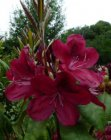 RHODODENDRON 'MOSER'S MAROON' 40-50 C