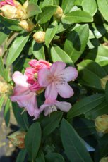 RHODODENDRON 'PERCY WISEMAN' 40-50 C