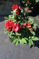RHODODENDRON 'RED JACK' 40-50 C